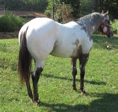 134 best american paint horse images on pinterest american paint