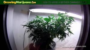 Recovering Cannabis Plants From High by How To Grow A Mother Cannabis Plant Youtube