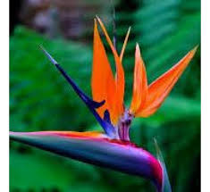 bird of paradise flower buy bird of paradise plant online at cheap price india s