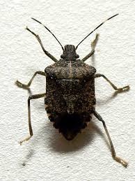Bed Bugs Smell Are Stink Bugs Really Stinky