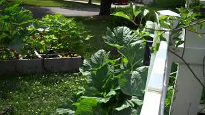 growing squash and zucchini in a raised bed or square foot garden