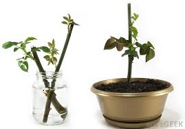 Vegetative Propagation By Roots - what is vegetative propagation with pictures