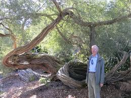 bonsai australian native plants ausbonsai view topic coastal tea tree design