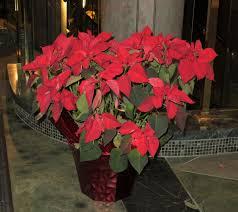 christmas plants christmas plants wxpr