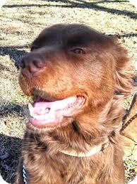 australian shepherd orange precious adopted dog hershey pa australian shepherd