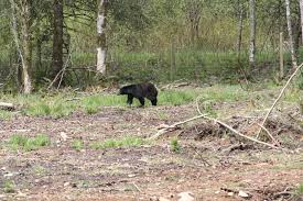 black bear along a rural path