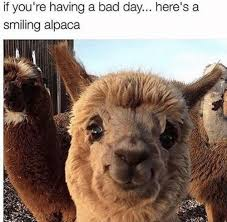 Alpaca Meme - if you re having a bad day here s a smiling alpaca alpaca