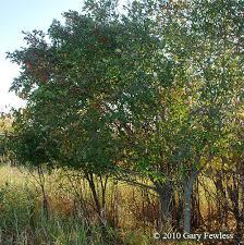 trees of wisconsin euonymus europaea european spindle tree