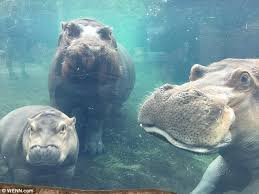 si e social hippopotamus baby hippo meets for the at us zoo daily mail
