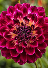 best 25 dahlia flowers ideas on pinterest giant paper flower