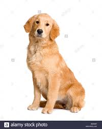 golden retriever puppy 5 months in front of a white background