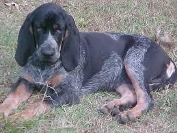 bluetick coonhound breeders indiana bluetick coonhound puppies at bluetick 1 kennels blueticks