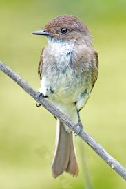 108 best black phoebe images on pinterest black birds and small