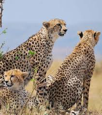 affectionate cheetahs wallpapers 14 best savane images on pinterest africans architecture and