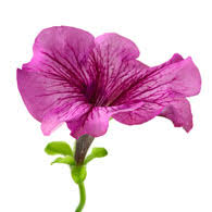 petunia flowers meaning of petunias what do petunia flowers