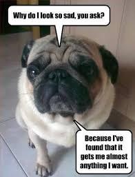 Depressed Pug Meme - fancy depressed pug meme pug funny pugs and pug dogs on pinterest