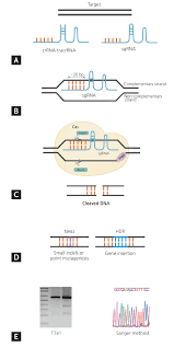 crispr cas9 a promising tool for gene editing on induced