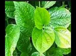 wajib tau inilah tanaman untuk membuat ramuan pembesar alat vital