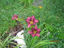 Day Lillies June 2014 Pdfangus