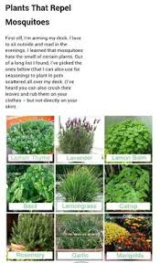 Best Mosquito Killer For Backyard 12 Garden Plants That Repel Mosquitos So You Can Enjoy Being