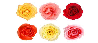Flower Of The Month June Flower Of The Month U2013 Rose Scenic Roots Garden Center