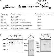 Flag Tag Dna Sequence Long Range Repression By Multiple Polycomb Group Pcg Proteins