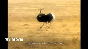 Ostrich Meme - funny ostrich meme youtube