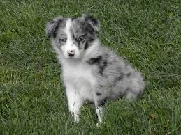 belgian sheepdog chow mix white german shepherd border collie mix pictures of breed dogs