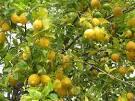 lista de arboles frutales