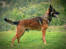 belgian shepherd or malinois malinworx belgian shepherd malinois breeding serious dogs for
