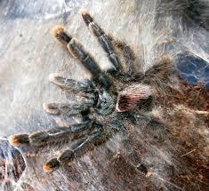 12 best my pet tarantulas images on pet tarantula