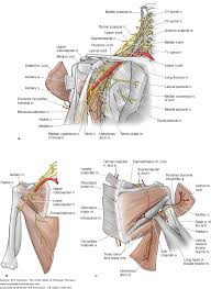 scapula winging the color atlas of physical therapy