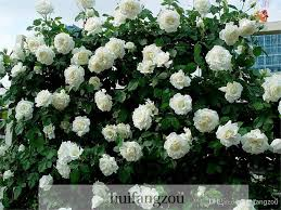 white roses for sale hot sale 100 seeds climbing seeds plants spend climbing roses
