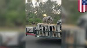 animal abuse video of scared dog chained to roof of trailer on