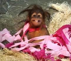 video como zoo u0027s orangutan celebrates birthday just like any