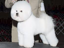 bichon frise breed standard hollyhock bichons bichon frise puppies for sale