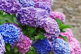 hydrangea flowers how to get more hydrangea flowers in your garden simplemost