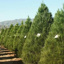 peltzer pines silverado tree farm 92676 silverado 7851