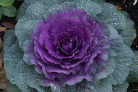 flowering kale recipes marifarthing flowering kale for