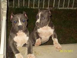 american pitbull terrier 10 months american pit bull terrier page 15 for sale ads free classifieds