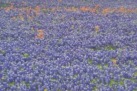 texas bluebonnet fields search in pictures