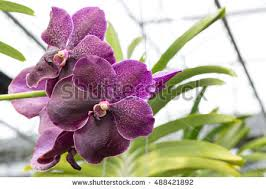 vanda orchids vanda orchid stock images royalty free images vectors