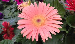 gerbera plant how to grow gerbera daisies from seed today s homeowner