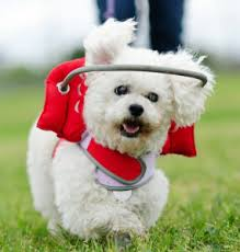 Causes Of Sudden Blindness In Dogs Sards Affects More Dogs Everyday Helpful Tips For Dog Owners