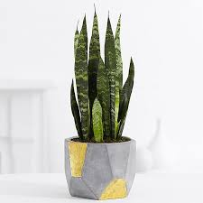 green plants sansevieria tabletop plant