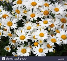 oxeye daisy flower chrysanthemum leucanthemum covered with early