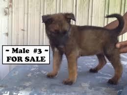 belgian malinois puppies 6 months view ad belgian malinois puppy for sale north carolina pembroke
