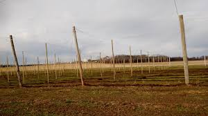 the hop yard is ready for winter the hop garden