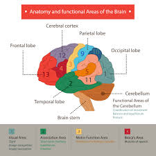 Part Of The Brain Stem That Is Involved In Arousal Human Brain Functions And Cognifit
