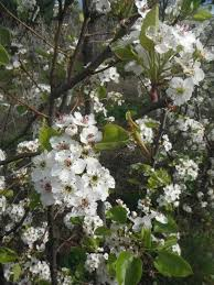 20 best deciduous flowering trees images on